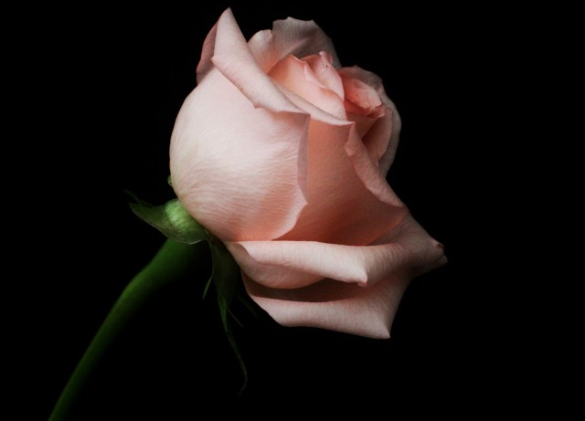 8.9.14.rose.jpeg